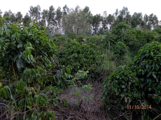 Setor Agroflorestal 01 - Café, noz pecã, bracatinga, eucalipto e adubo verde. Foto: Fábio Rocha.